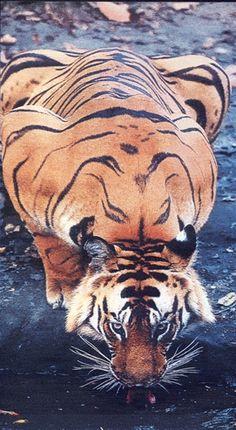 El destino es generoso con quienes no creen en l: a m me ha regalado el tigre que le neg a Borges.      S, yo soy un tigre en el zodiaco chino, mientras que Borges era un cerdo. El destino tambin ha querido que la conjuncin de astros que salud mi nacimiento fuera la de Sagitario. Es decir, los dos mejores signos de Oriente y Occidente: el tigre de Blake y el centauro Quirn de la mitologa griega. signos