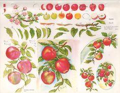 Gladys Galloway China Painting Study No 31 Apples | eBay