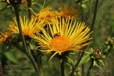 The bee collects pollen and nectar by kettiluisa