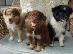 Australian Shepherd Red Merle, Red Tri and Black Tri Black Tri Australian Shepherd, Australian Shepherd Breeders, American Shepherd, Toy Aussie, Aussie Puppies, Cute Dogs And Puppies, Corgi Puppies, Australian Puppies, Doggies