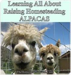 Learning All About Raising of Homesteading ALPACAS Homesteading  - The Homestead Survival .Com