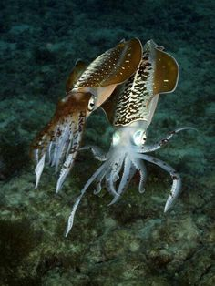 Cuttlefish ( when they die, their buoyant bodies float and are collected by humans to feed to buggies to blunt their sharp beaks as in captivity they don't wear their beaks down enough in cages
