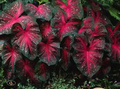 caladiums - Google Search