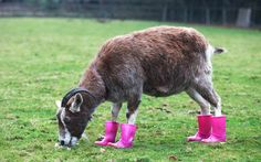 Goat in wellies.