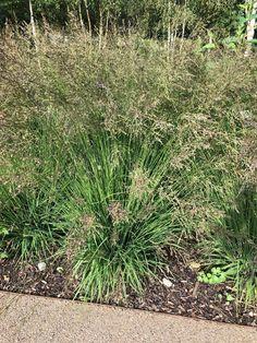 Molinia Poul Petersen — Meadowgate Nursery –Ornamental Grasses Growing Grass, Ornamental Grasses, Cool Plants, Fingers, Seeds, Nursery, Ornaments, Green, Baby Room