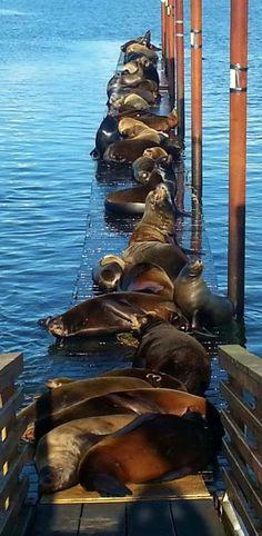 Astoria, Oregon - Seals