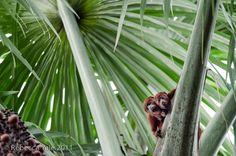 Red Howler Monkey, Ecuadorian Amazon