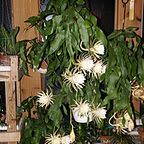 My Night Blooming Cereus in full bloom, Sept 11