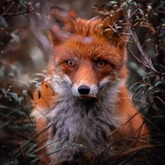 Animals Of The World, Animals And Pets, Cute Animals, Beautiful Creatures, Animals Beautiful, Bbc Earth, Fox Images, Foxes Photography, Nature Photography