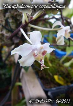 paraphalaenopsis serpentilingua