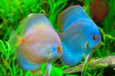 Discus fish are very interesting and beautiful fish for aquarium tanks. They are very colorful and incradible fish. We find all species of discus fish photos. Tropical Freshwater Fish, Tropical Fish Tanks, Tropical Aquarium, Freshwater Aquarium, Discus Aquarium, Discus Fish, Fish Aquariums, Fish Fish, Planted Aquarium