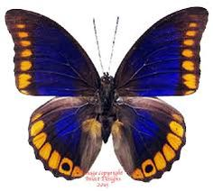 Image result for mariposas