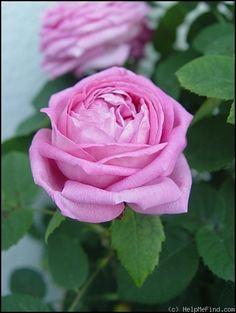 Hybrid Perpetual Rose: Rosa 'Comtesse Cécile de Chabrillant' (France, 1858)