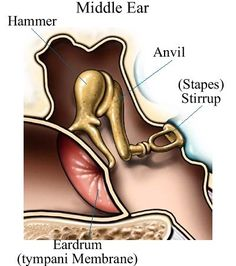 Did you know your #ear has parts called a hammer, avil, and stirrup? The hammer is a small bone that connects the anvil and is attached to inner surface of the eardrum. The anvil connects the hammer to the stirrup and transmits vibrations between both bones. And the sitrrupt is connected to the oval window which is the intersection of the middle ear and inner ear! See? Audiology can be fun. ;) #hearingvocab #vocabulary #education