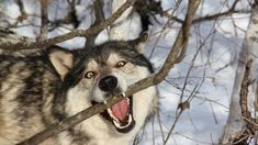 Anime Wolf Wallpaper Full HD Quality - New Wallpapers Wolf Wallpaper, Animal Wallpaper, Wallpaper Wallpapers, Coyotes, Tier Wolf, Wolf Predator, Maned Wolf, Winter Wolves, Wolf Husky