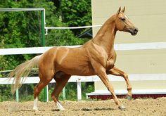 Horses for sale - Akhal-Teke Horse Russia Dressage For sale Gajduvsyz-SHax