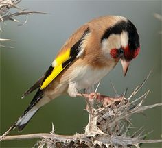 A veure on poso els peus! Most Beautiful Birds, Animals Beautiful, Kinds Of Birds, Love Birds, Photo Animaliere, Goldfinch, Bird Pictures, Colorful Birds, Uruguay