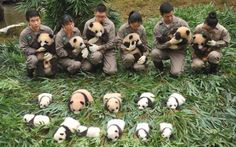 A #Panda Baby Boom in #China - 36 #Cubs Born This Year ibeebz.com
