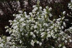 Snow+Day®+Surprise+-+Pearl-bush+-+Exochorda+hybrid