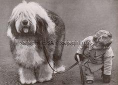 DOG Old English Sheepdog OES Champion (Named) Portrait, Beautiful 1930s Print