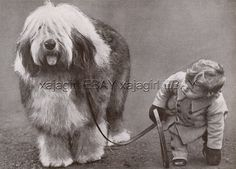 DOG Old English Sheepdog OES Champion (Named) Portrait, Beautiful 1930s Print