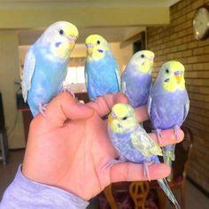 Funny Birds, Cute Birds, Pretty Birds, Beautiful Birds, Animals Beautiful, Beautiful Pictures, Parakeet Colors, Parakeet Care, Cute Little Animals