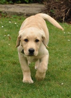 Click on photo to read Labrador puppy training tips you need to know - DOGSArena.com