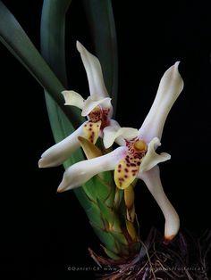 Maxillaria cedralensis