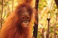 Help the orangutans! Adopt Cinta the Orangutan for just 30¢/day! {:(|} http://redapes.org/adopt