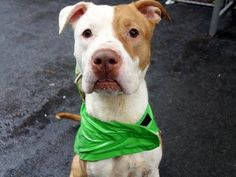 TO BE DESTROYED - 12/19/14 Manhattan Center -P. My name is CHASE. My Animal ID # is A1022647.I am a male tan and white pit bull mix. The shelter thinks I am about 5 YEARS old.  For more information on adopting from the NYC AC&C, or to  find a rescue to assist, please read the following: http://urgentpetsondeathrow.org/must-read/