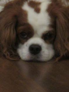 Wordless Wednesday- Cavalier on the Cold Floor in the Summer Time   Charlie The Cavalier
