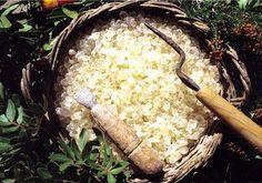 Stella Crown: Μαστίχα Χίου- Pistacia Lentiscus var. Chia Mastic Gum, Chios, Water Flowers, Growing Tree, Natural Cosmetics, Grains, Seeds, Vegetables, Korn