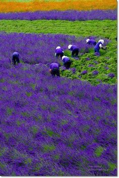 Lavender field, Hokkaido, Japan -- Imagine living near these fields ! The glorious scent of lavender in the air ! Purple Haze, Shades Of Purple, Green And Purple, Purple Colors, Purple Flowers, Lavender Blue, Lavender Fields, Lavander, Lavender Garden