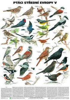 Ptáci střední Evropy V. - pěvci 1 nástěnná tabule ( 67x96 cm )   ALBRA - Prodej a distribuce učebnic Spring Theme, Brain Training, Whimsical Art, Bird Feathers, Kids Learning, Montessori, Art For Kids, Birds, Illustration