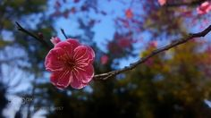 Red plum blossom  by love365lsc #nature #photooftheday #amazing #picoftheday