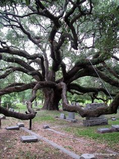 exas State Cemetery - Austin TX - 100 year old Oak[564 752]