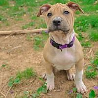 Derwood Md American Bulldog Meet Mystique A Dog For Adoption