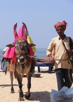 Man and cow in Anjuna, Goa, India. My own photo.