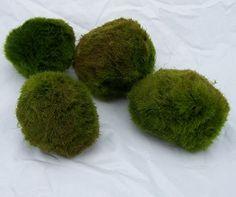 Chladophora Aegagrophila | Les Serres Aquafolia