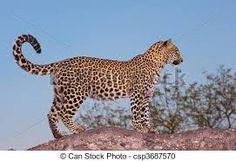 Afbeeldingsresultaat voor luipaard
