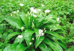 Bylinkář – díl první: Jak pěstovat česnek medvědí? Herbs, Gardening, Plants, Garden Ideas, Japanese, Medicine, Japanese Language, Lawn And Garden, Herb