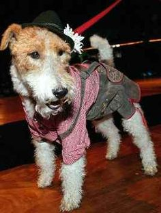 Prince needs this for Oktoberfest! But where can I find one? :/ I wish I knew s… Prince braucht das zum Oktoberfest ! Wire Haired Terrier, Wire Fox Terrier, Fox Terriers, Munich Oktoberfest, German Oktoberfest, Oktoberfest Party, Animal Costumes, Pet Costumes, Terrier Breeds