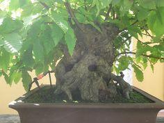 bonsái Castaño Castanea sativa