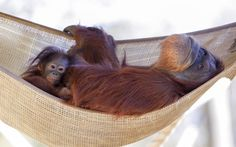Keju, a seven-month-old Bornean orangutan, spends some quite time in a hammock with her new foster mother, Madu, a 32-year-old Sumatran orangutan at Zoo Atlanta in Atlanta, Georgia, USA