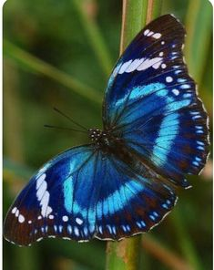 Probably the prettiest blue butterfly ever - apparently called the Tanzanian Diadem Buttefly Butterfly Kisses, Butterfly Flowers, Blue Butterfly, Butterfly Wings, Beautiful Bugs, Beautiful Butterflies, Amazing Nature, Beautiful Creatures, Animals Beautiful