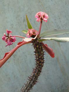 exotic flowering succulent
