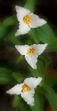 ✿⊰Flores no Jar dim✿⊰ They look also like trillium, but these are females look at the sculpted edges Unusual Flowers, Unusual Plants, Amazing Flowers, My Flower, White Flowers, Beautiful Flowers, Lilies Flowers, Cactus Flower, Tropical Flowers