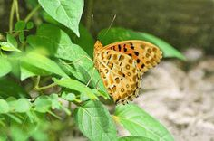 Butterfly Motion GIF -- Marbeled Fritillary