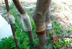 Как бороться с садовой тлей-ловчий пояс + Опрыскивание: на 5 литров воды, одна стопка любого шампуня от блох для животных. Вся тля умрет вместе с муравьями через 5 минут!