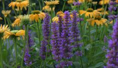 "Agastache ""Blue Boa', a perennial that blooms all season long. Photographed in the President's Choice Show Garden where it grows alongside Echinacea ""Leilani'"
